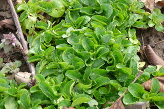 growing food greens