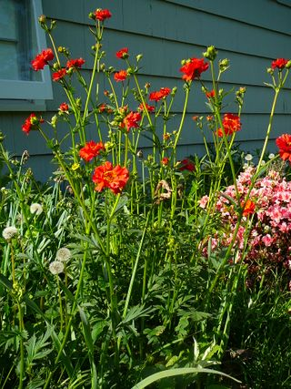 growing perennials