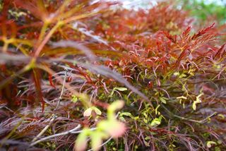 crimson queen japanese maple