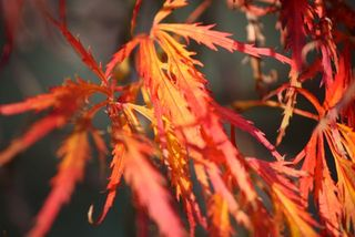 Japanese Maple lace leaf