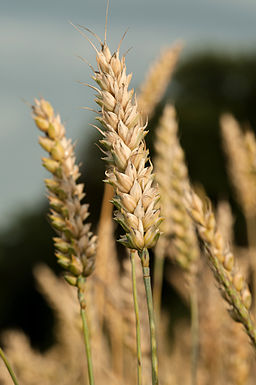 Wheat_ear