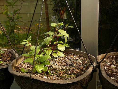 Fuscia_greenhouse
