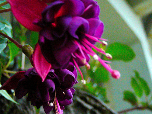 Gardener to Farmer: fuscia