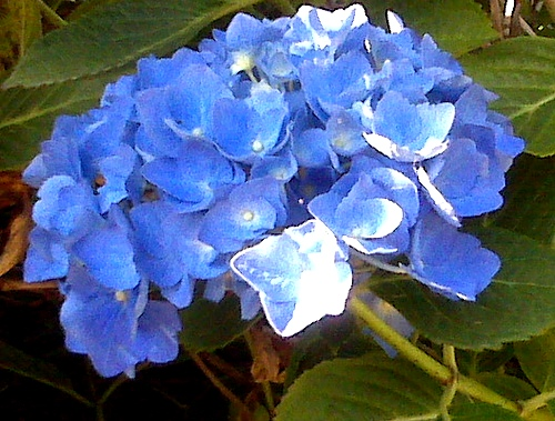 Hydrangea_close_up