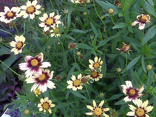 Coreopsis_red_shift