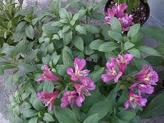 Hybrid_peruvian_lilly