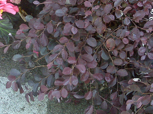 Purple_pixie_loropetalum