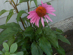 Ruby_star_coneflower